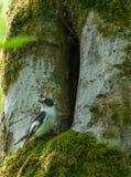 Försåg med krage manliga flugsnappareFicedula albicollis Royaltyfria Bilder