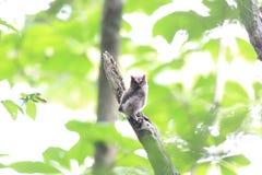 försåg med krage owlscops Royaltyfria Foton