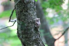 försåg med krage owlscops Fotografering för Bildbyråer
