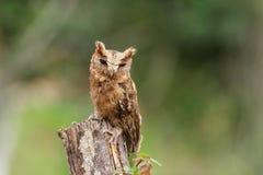 försåg med krage owlscops Royaltyfri Fotografi