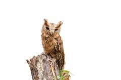 försåg med krage owlscops Arkivbild