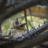 försåg med krage owlscops Arkivfoto