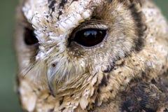försåg med krage owlscops Royaltyfri Bild