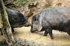 Försåg med krage peccaries som är bekant som wild pigs i mud Fotografering för Bildbyråer