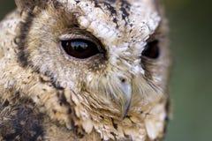 Försåg med krage Scops Owl Face Detail Arkivfoton