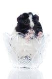 Försökskanin i en vase Fotografering för Bildbyråer