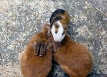 Försökskanin och dekorativ kanin två Arkivfoton