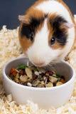 Försökskanin som äter matcloseupen Arkivfoton