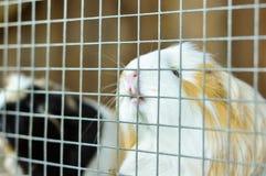 Försökskanin som biter på stängerna av hans bur royaltyfri foto