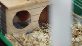 Försökskaninen sitter på hans bur och äter djur mat stock video