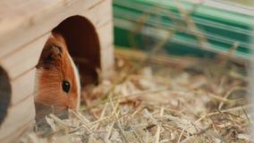 Försökskaninen sitter på hans bur och äter djur mat arkivfilmer