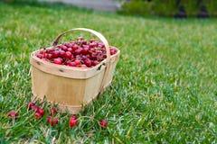 Församlade körsbär i en träkorg på det gröna gräset Arkivfoton