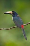 försedd med krage aracari Royaltyfri Fotografi