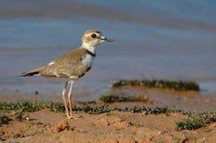 försedd med krage collarisplover för fågel charadrius royaltyfri fotografi