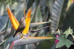försedd med krage dubbel sydlig sunbird Royaltyfri Fotografi