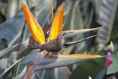 försedd med krage dubbel sydlig sunbird Arkivbilder
