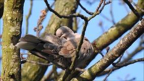 Försedd med krage duva som putsar matning för äng för fågellandsträdgård kvinnlig stock video