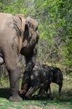 Försedd med krage elefant för radio GPS Royaltyfria Bilder