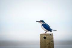 försedd med krage kingfisher Arkivbild