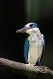 försedd med krage kingfisherperch Arkivbilder
