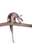Försedd med krage myrslok, Tamandua tetradactyla på vit Royaltyfria Bilder