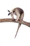 Försedd med krage myrslok, Tamandua tetradactyla på vit Fotografering för Bildbyråer