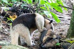 Försedd med krage myrsloktamandua som äter från kokosnöten i den Corcovado nationalparken, Costa Rica royaltyfria foton