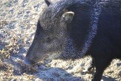 Försedd med krage navelsvin eller Pecari tajacu arkivbilder