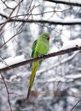 Försedd med krage parakiter i vintern (Frankrike Europa) Arkivfoto