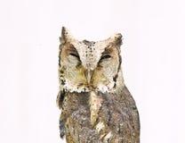 Försedd med krage scopsowl som isoleras på vitbakgrund Fotografering för Bildbyråer