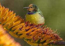 försedd med krage sunbird fotografering för bildbyråer