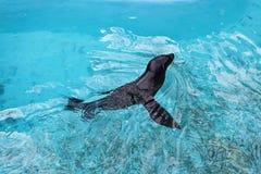 Försegla i det blåa vattnet 3 Arkivfoton