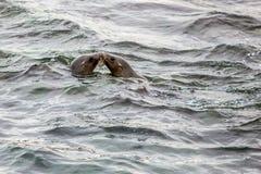 Förseglar att kyssa i hav Arkivbilder