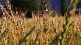 Försiktig bris i ett vetefält stock video