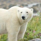Försiktig isbjörn i gräset 2 arkivfoton