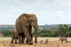 Försiktig jätte den afrikanska Bush elefanten Arkivfoto
