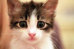 försiktig kattunge Arkivbilder
