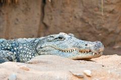 Försiktig krokodil Arkivfoto
