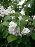 Försiktig lila för vit Royaltyfria Bilder