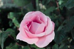 Försiktig och härlig ros - drottning av blommor fotografering för bildbyråer