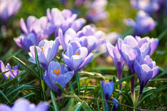 Försiktig purpurfärgad krokus blommar närbild Royaltyfri Fotografi