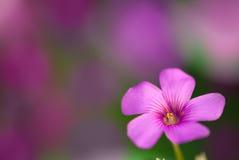 Försiktig rosa blomma royaltyfri fotografi