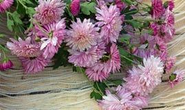 försiktig-rosa färger blommor av krysantemum Arkivbilder