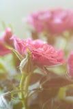 Försiktig rosa färgros Royaltyfri Foto