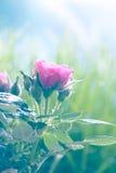 Försiktig rosa färgros Arkivbild