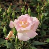 Försiktig rosa färgros med knoppar i en trädgård Royaltyfri Fotografi