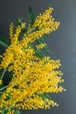 Försiktig sammansättning för vår med mimosablommor på svart bakgrund royaltyfria foton