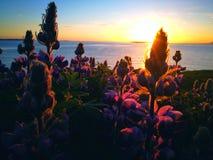 Försiktiga isländska lilablommor Royaltyfri Fotografi