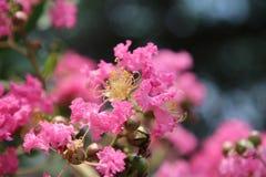 Försiktiga rosa dubbla blommor, runda knoppar och gula stamens royaltyfri bild
