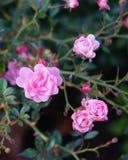 Försiktiga rosor Arkivfoto